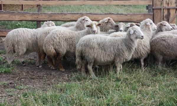Кучугуровская порода овец фото