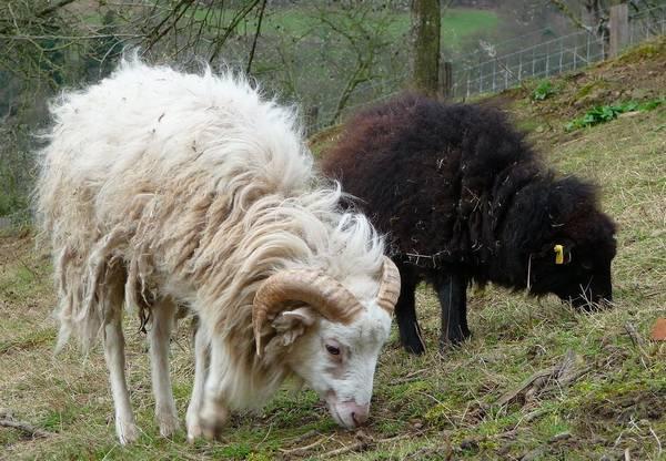 Овца породы Бретонский карлик (Уэссан) фото