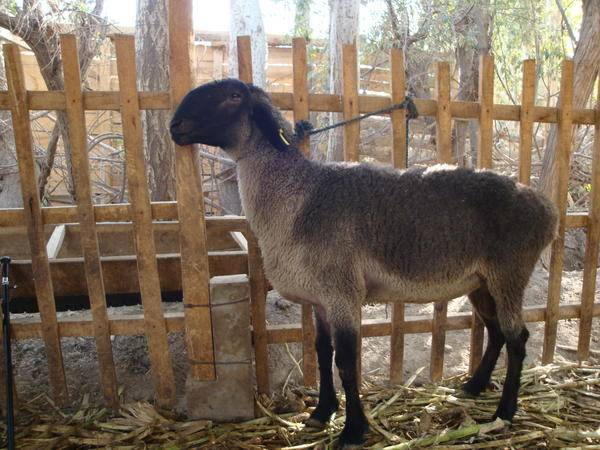 Овца породы Долан фото