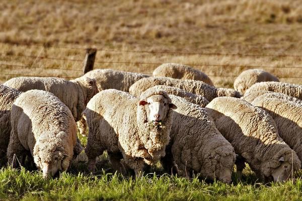 Овца породы меринос фото