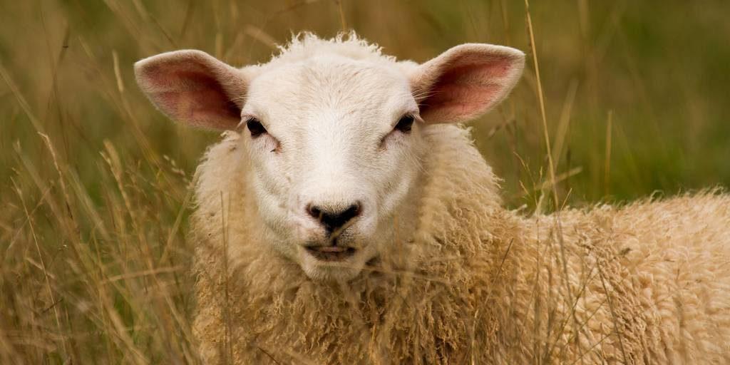 Овца фото