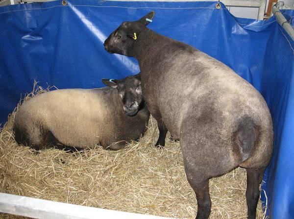 Овцы породы Голубой тексель фото