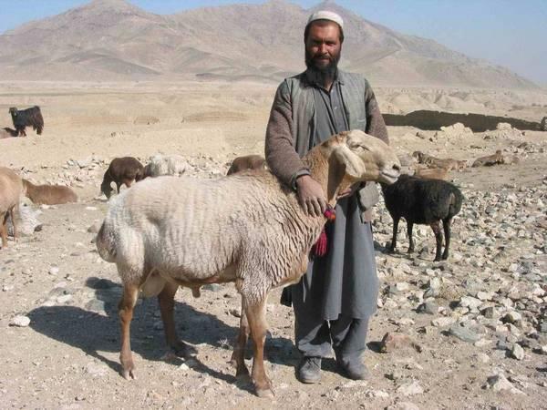 Пастух с курдючными овцами в Афганистане фото