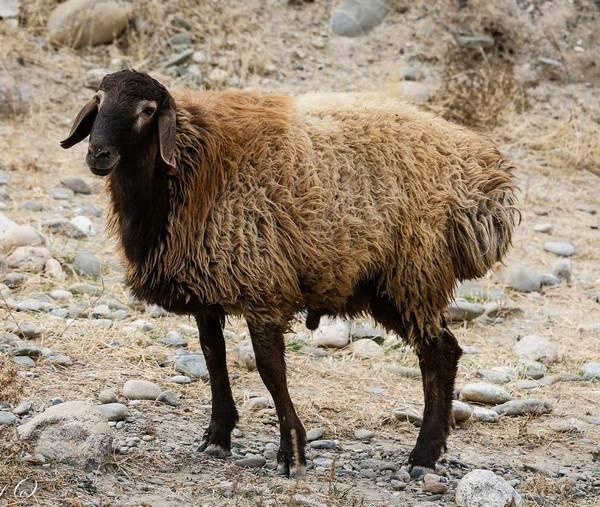 Порода овец Джойдори (Джайдара) фото