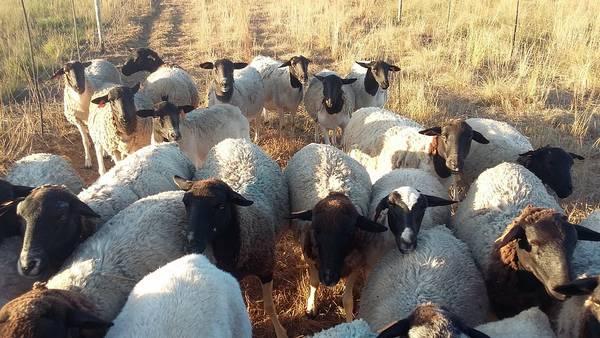 Порода овец Дорпер фото