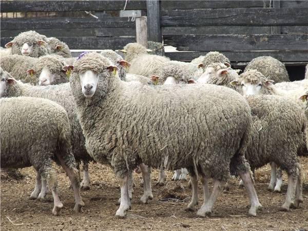 Порода овец Прекос фото