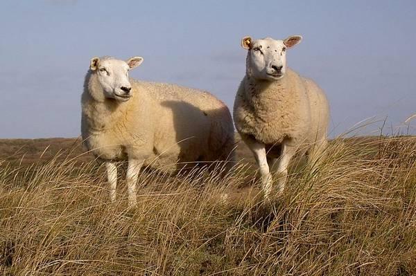 Порода овец Тексель фото