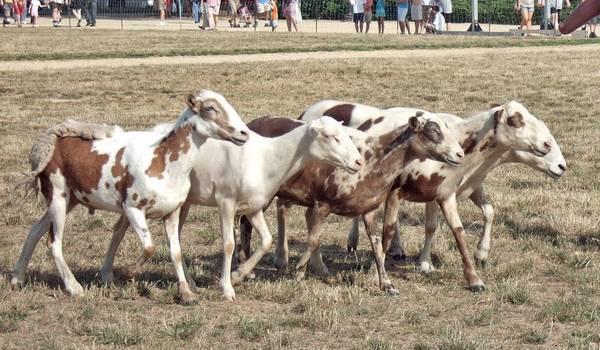 Пятнистые овцы породы Pelibuey фото