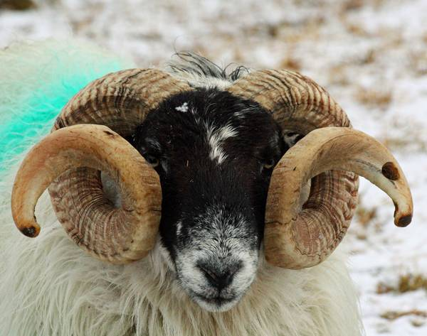 Рога барана породы Шотландская черномордая фото (лат. Ovis aries)