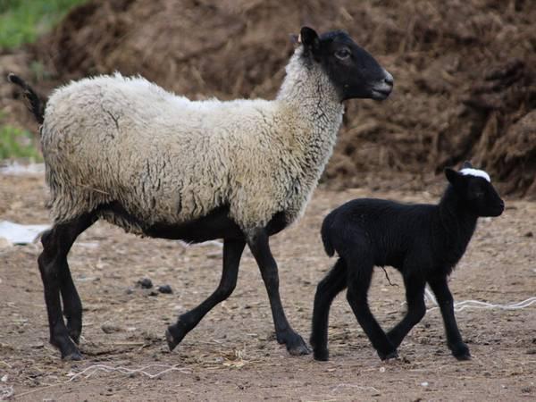 Романовская порода овец фото