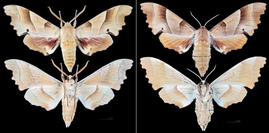 Самец и самка бражника дубового фото (лат. Marumba quercus)