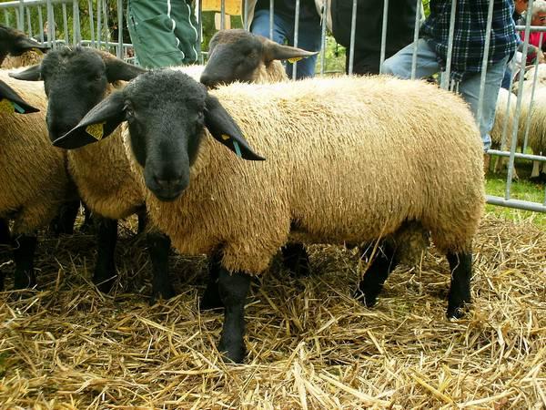 Суффолк (Суффольк) порода овец фото