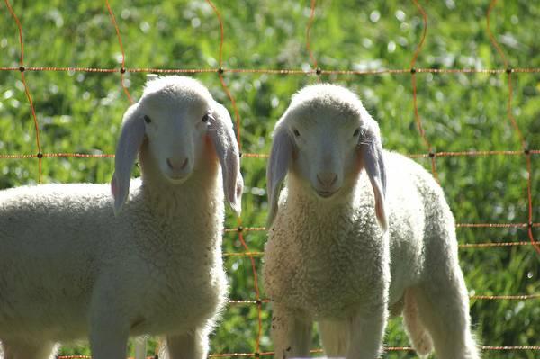 Уши овец фото (лат. Ovis aries)