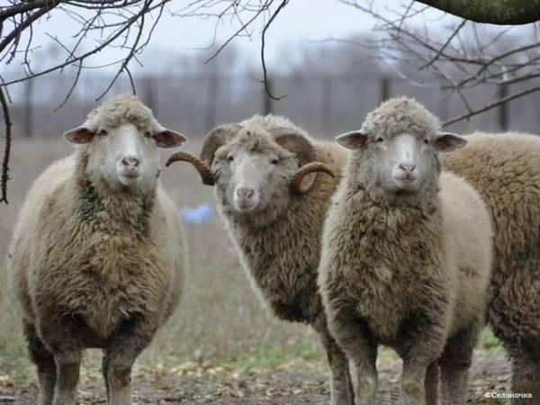 Цигайская порода овец фото