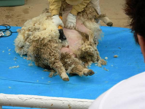Электрическая машинка для стрижки овец фото