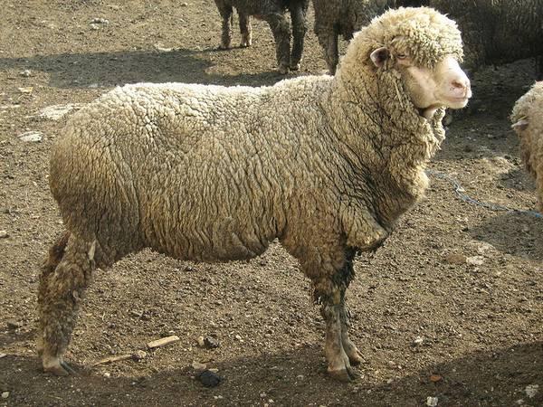 Асканийская порода овец фото