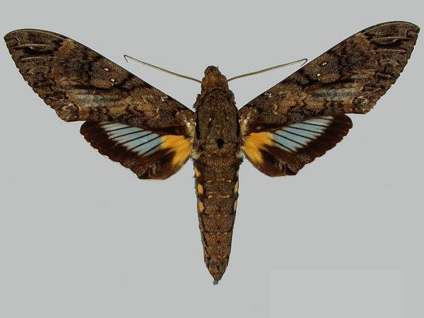 Бражник антей - самый большой бражник в мире фото (лат. Сосуtius antaeus)