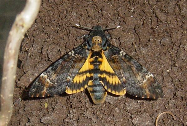 Бражник мертвая голова (Адамова голова) фото (лат. Acherontia atropos)