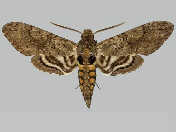 Бражник табачный фото (лат. Manduca sexta)