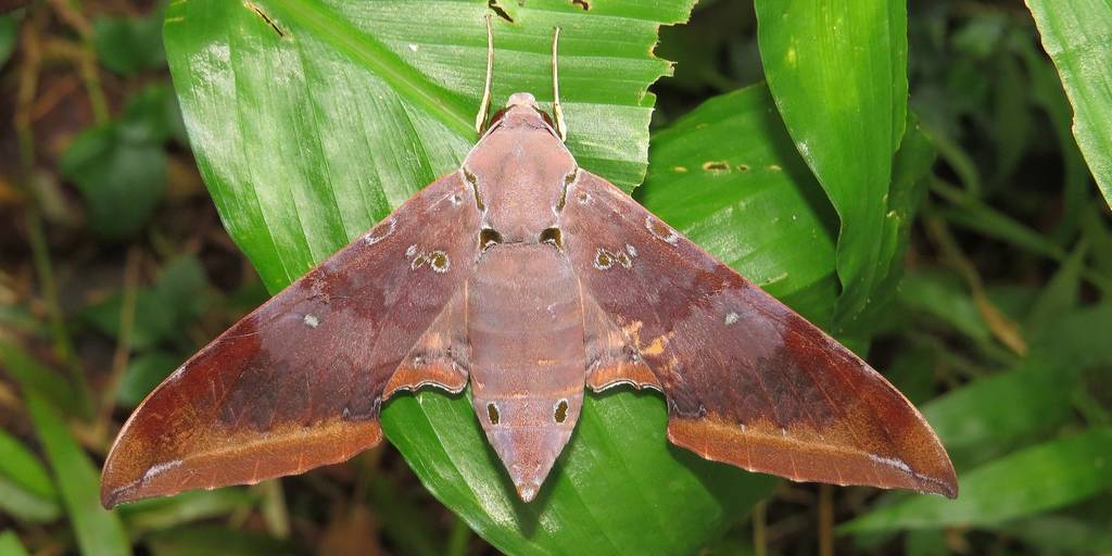 Бражник бабочка и гусеница