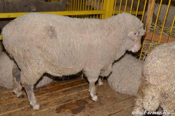 Волгоградская порода овец фото