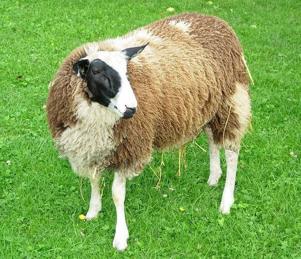 Восточно-фризская порода овец фото