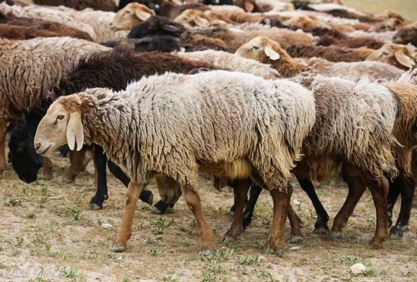Гиссарская овца фото