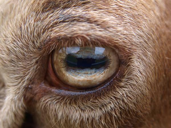 Глаза овцы фото (лат. Ovis aries)