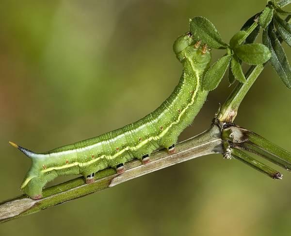 Гусеница обыкновенного языкана фото (лат. Makroglossum stellatarum)