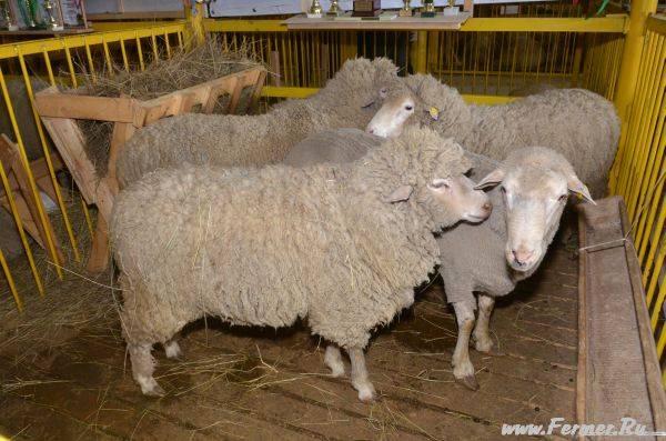 Дагестанская горная порода овец фото