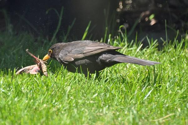 Дрозд ест бражника глазчатого фото (лат. Smerinthus ocellatus)