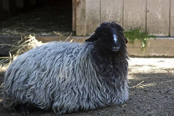 Каракульская порода овец фото