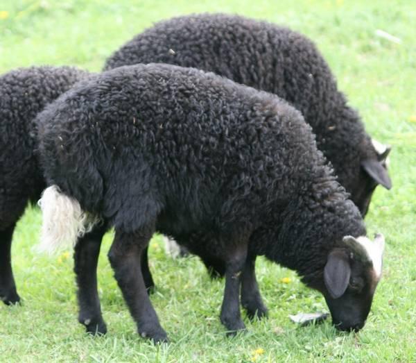 Карачаевская порода овец фото