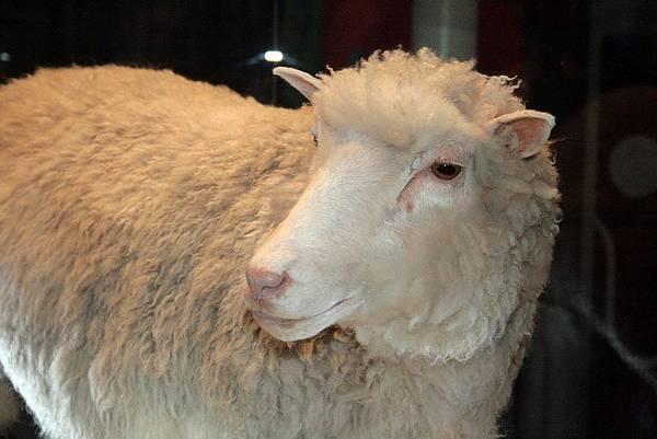 Клонированная овца Долли фото