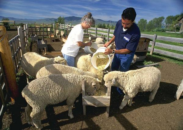 Корм для овец фото