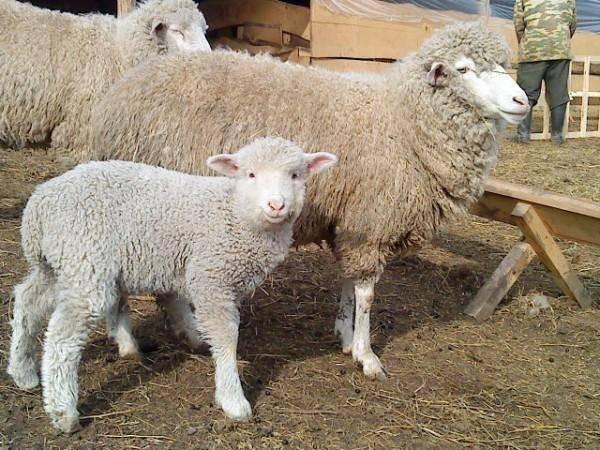 Куйбышевская порода овец фото