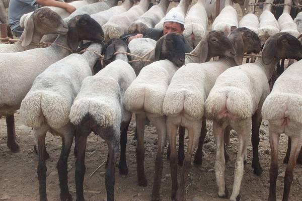 Курдючные овцы породы турки (афгани) фото