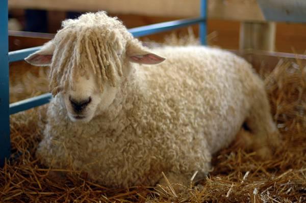 Овца с челкой фото (лат. Ovis aries)
