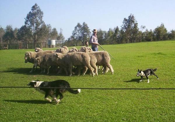 Овцы на пастбище, охраняемые собакой бордер-колли фото