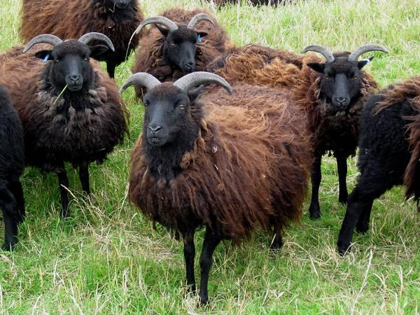 Овцы на пастбище фото