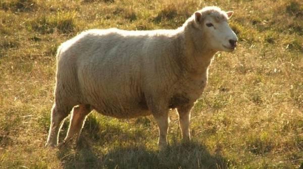 Сараджинская порода овец фото