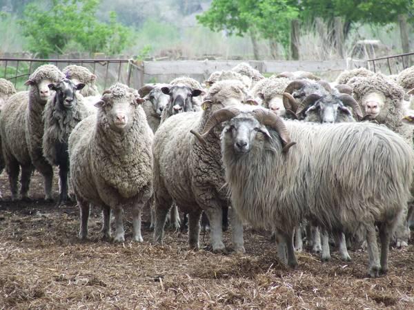 Сокольская порода овец фото