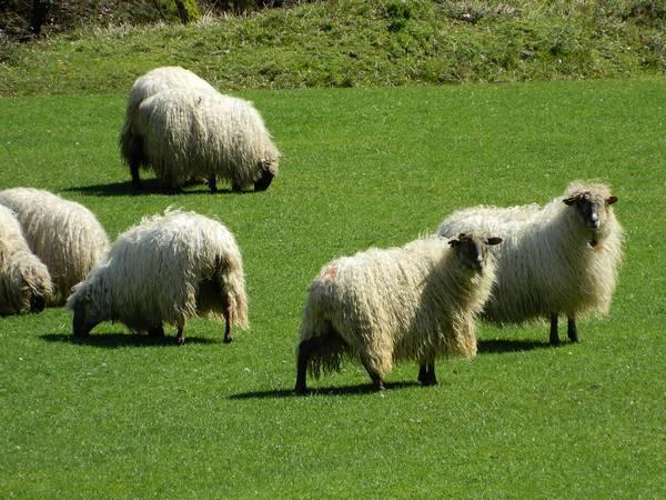 Стадо овец фото