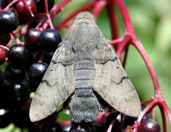 Языкан обыкновенный (большехоботник звездчатый) фото (лат. Makroglossum stellatarum)