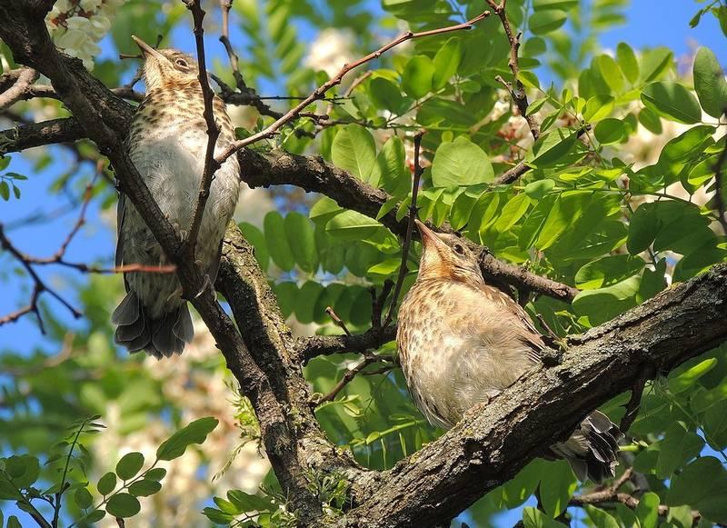 Где обитает птица дрозд фото
