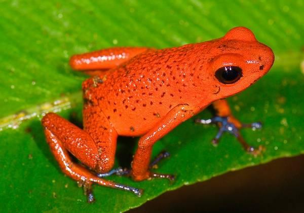 Глаза маленького древолаза фото (лат. Oophaga pumilio)
