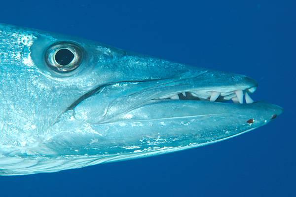 Голова большой барракуды фото (лат. Sphyraena barracuda)