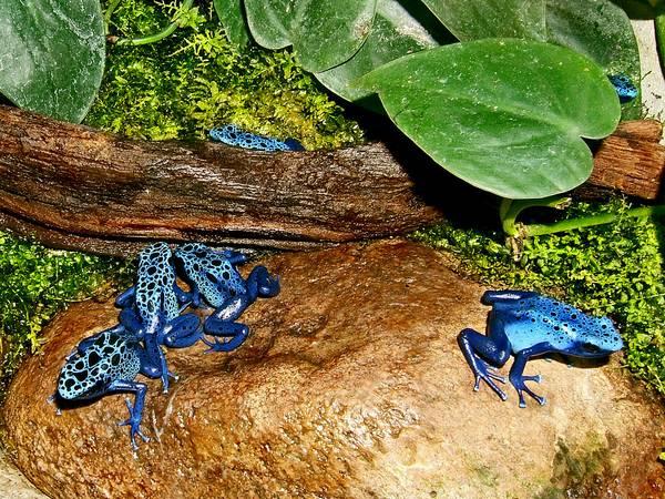 Голубые древолазы фото (лат. Dendrobates tinctorius azureus)