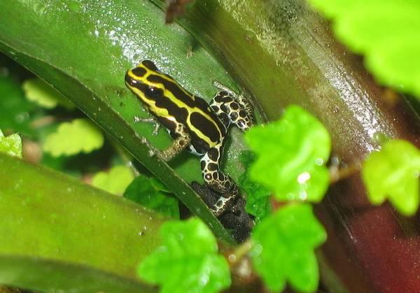 Древолаз Ranitomeya ventrimaculata в террариуме фото