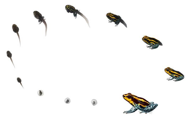 Жизненный цикл древолазов фото (на примере лягушки Ranitomeya imitator)